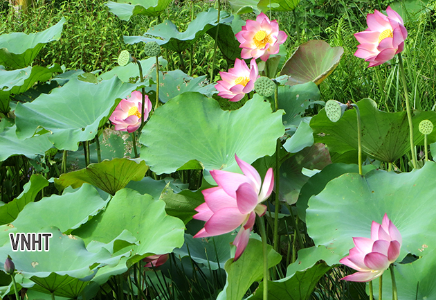 Hoa sen trong thơ Vũ Tuyết Nhung