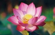 PHẬN SEN HỒNG - Tản văn của Lâm Lâm